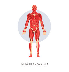 Muscular system isolated human body anatomy vector