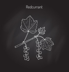 red currant ribes rubrum vector image