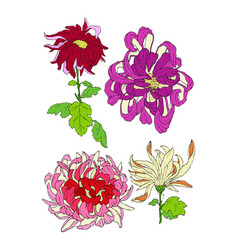 chrysantemum flower hand drawn colored vector image