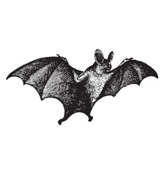 Vampire bat vintage vector