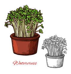 Watercress salad vegetable sketch vector