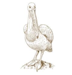 Engraving of big pelican vector