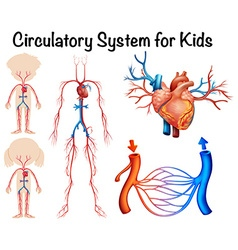 Circulatory system for kids vector image