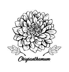 Chrysanthemum hand drawn vector