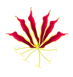 Flame lily or gloriosa superba flower on white vector