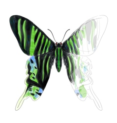 Butterfly Urania Leilus vector image