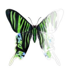 Butterfly Urania Leilus vector