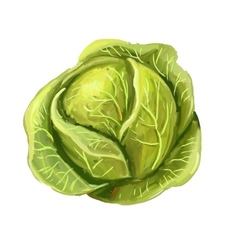 Picture of cabbage vector