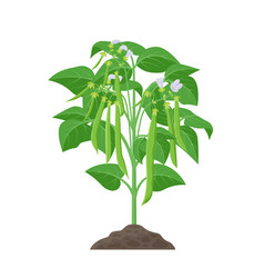 Bean mature plant stock in vector