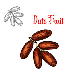 Dates sketch tropical fruit vector