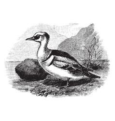 Smew a merganser or fishing duck vintage vector