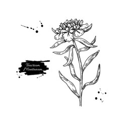 teucrium montanum drawing isolated medical vector image