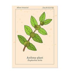 Asthma-plant euphorbia hirta or garden spurge vector