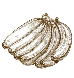 engraving bananas vector image