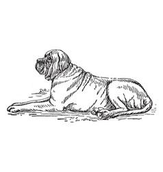 Mastiff vintage vector
