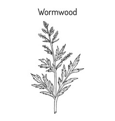 mugwort or common wormwood artemisia vulgaris vector image
