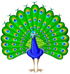 Peacock with colorful feather vector image