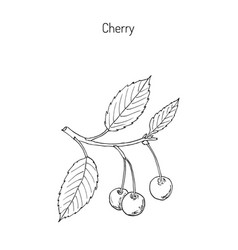 cherry branch with cherries and leaves vector image vector image