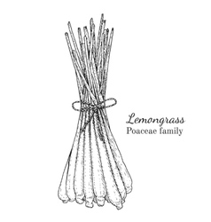 Ink lemongrass hand drawn sketch vector