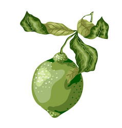 Lime fruit of round shape with leaves vector