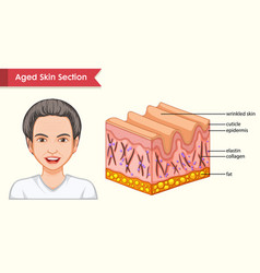 scientific medical aged skin with wrinkles vector image