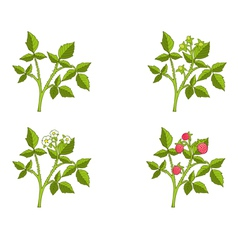 Raspberry growth phases vector image