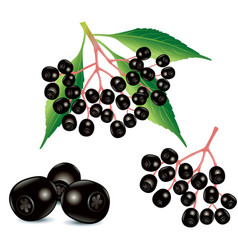 ripe black elderberry fruit food ingredient vector image