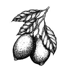 hand drawn lemon or lime fruit leafs on vector image vector image