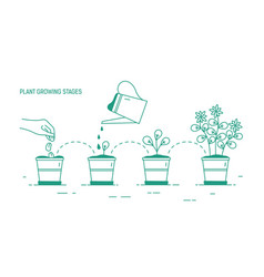 Growing phases of potted plant - seeding vector