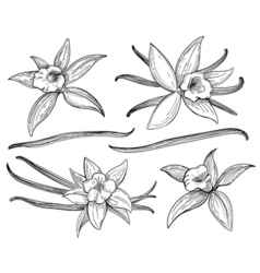 Vanilla pods or sticks hand drawing sketches vector