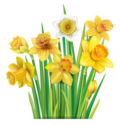 bouquet yellow daffodils on vector image