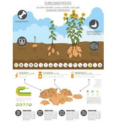 Sunflower potato beneficial features graphic vector