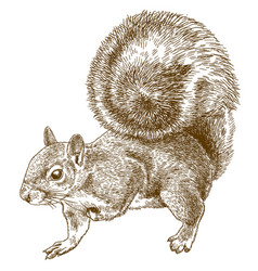 Engraving eastern gray squirrel vector