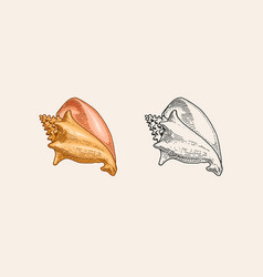 sea shell or mollusca different forms engraved vector image