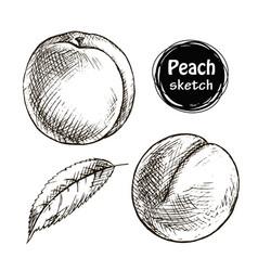 peach sketch vector image vector image