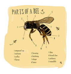 engraving part of honey bee vector image