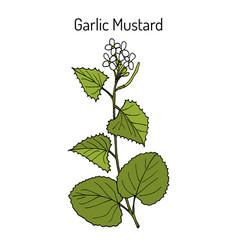 Garlic mustard alliaria petiolata medicinal vector
