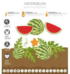 Watermelon beneficial features graphic template vector