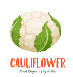 Cauliflower vegetable vector