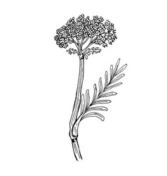 doodle valerian medicinal plant black outline vector image