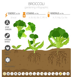 broccoli cabbage beneficial features graphic vector image