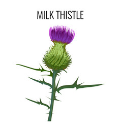 milk thistle isolated on white background blessed vector image