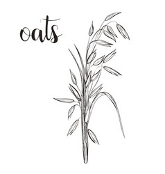 oats sketch hand drawing vector image