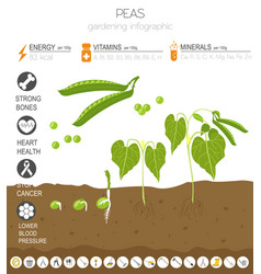 Peas beneficial features graphic template vector