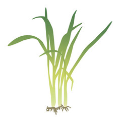 A bunch of lemongrass vector