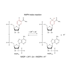 NADP redox reaction vector image