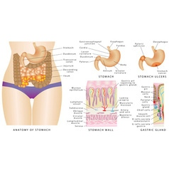 Stomach anatomy vector