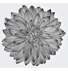 Ink drawing of black dahlia flower vector