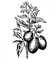 pepino solanum muricatum vector image vector image