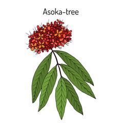 Ashoka tree saraca asoca medicinal plant vector